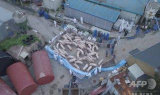 韓国 豚コレラ