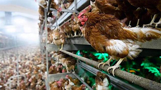 鳥インフルエンザ