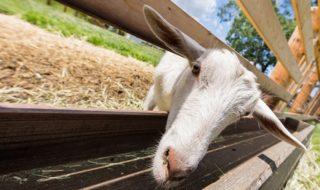 ふれあい牧場のヤギ