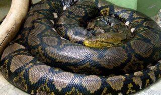 3.5メートルのアミメニシキヘビ