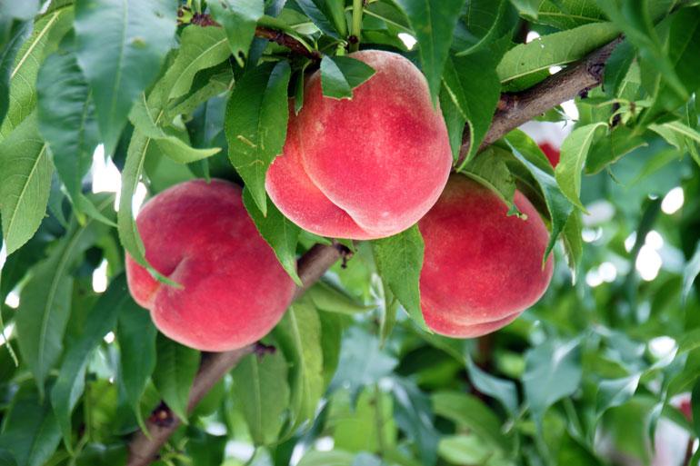 収穫前の桃